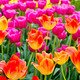 Tulips Background - PhotoDune Item for Sale