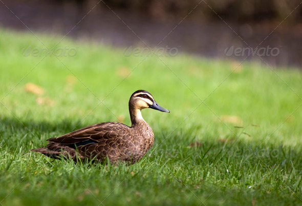 Pacific Black Duck - Stock Photo - Images