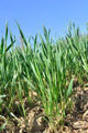 wheat seedlings - PhotoDune Item for Sale