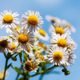 Wild daisies - PhotoDune Item for Sale