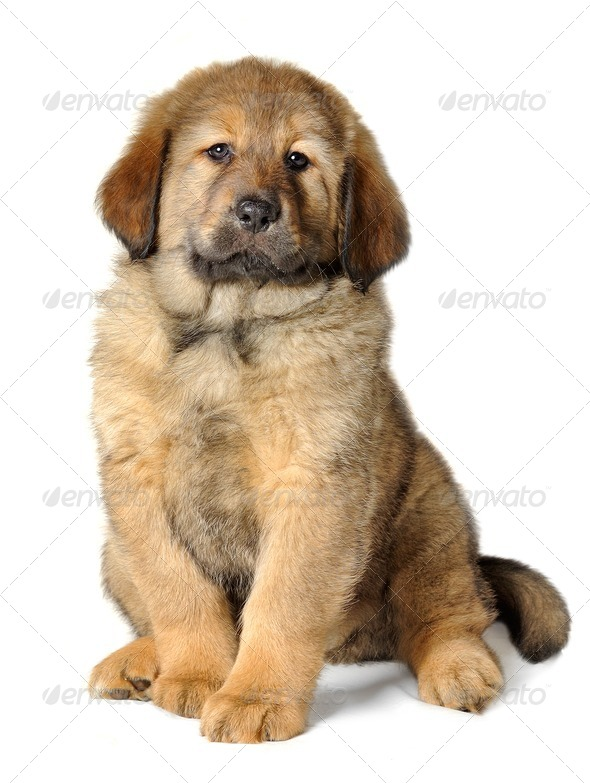 Puppy tibetan mastiff - Stock Photo - Images
