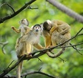 Squirrel monkeys with their babies - PhotoDune Item for Sale