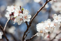 Apricot Blooming in Spring, Closeup - PhotoDune Item for Sale