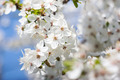 Apricot Blooming in Spring, Closeup 2 - PhotoDune Item for Sale