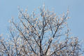 Apricot Tree Blooming in Spring - PhotoDune Item for Sale