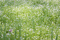 White Small Flowers on the Meadow - PhotoDune Item for Sale