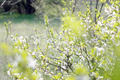 Apricot Tree Blooming in Forest - PhotoDune Item for Sale