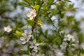 Apricot Tree Branch with Green Leaves - PhotoDune Item for Sale