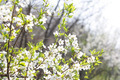 Apricot Tree in the Sun - PhotoDune Item for Sale