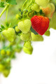 Green and red strawberries against a white background - PhotoDune Item for Sale