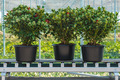 Three skimmia plants on a conveyor belt ready for export - PhotoDune Item for Sale