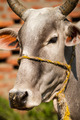 Beautiful portrait of a grey Indian cow - PhotoDune Item for Sale