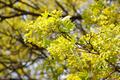 Blooming Maple Tree - PhotoDune Item for Sale