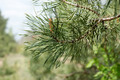Spruce Branch & Blurred Background - PhotoDune Item for Sale