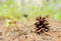 Fir-cone on the Forest Floor - PhotoDune Item for Sale