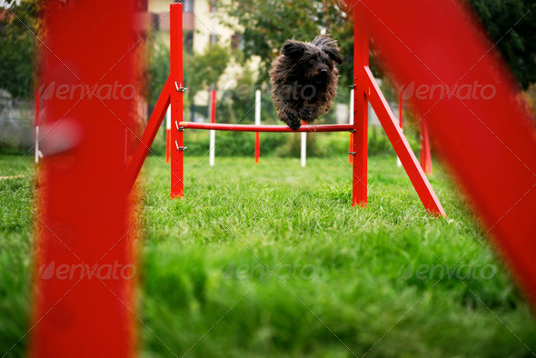 Pet running, agility race with dog jumping over hurdle - Stock Photo - Images