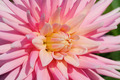 Dahlia flower - PhotoDune Item for Sale