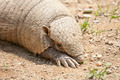 Armadillo - PhotoDune Item for Sale