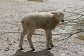 Baby Lamb - PhotoDune Item for Sale