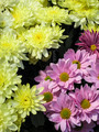 Chrysanths flowers - PhotoDune Item for Sale