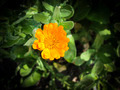 Marigold flower - PhotoDune Item for Sale