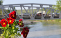 Red Flower with a Suspension Bridge in the Background - PhotoDune Item for Sale