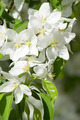 Flowering apple. - PhotoDune Item for Sale