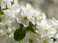 Flowering cherry. - PhotoDune Item for Sale