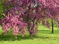 Flowering plum tree. - PhotoDune Item for Sale