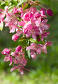 Flowering apple on blurred background. - PhotoDune Item for Sale