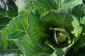 Top view of Cabbage and light - PhotoDune Item for Sale