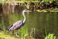 Heron in Everglades - PhotoDune Item for Sale