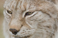 Portrait of a Eurasian lynx, Lynx lynx - PhotoDune Item for Sale