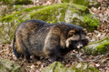Raccoon dog, Nyctereutes procyonoides - PhotoDune Item for Sale