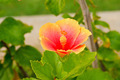 Hibiscus flowers. - PhotoDune Item for Sale