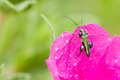 Rock-rose flower and green insect - PhotoDune Item for Sale
