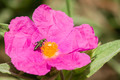 Rock-rose flower - PhotoDune Item for Sale