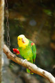 Yellow-naped Amazon Parrot - PhotoDune Item for Sale