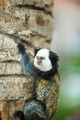 White-headed Marmoset sitting in a tree - PhotoDune Item for Sale