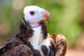 White-headed Vulture - PhotoDune Item for Sale