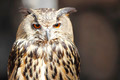 Long-eared owl - PhotoDune Item for Sale