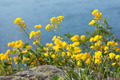 Aurinia Saxatilis (Basket of Gold, Golden-tuft Madwort) - PhotoDune Item for Sale