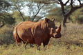 White rhinoceros - PhotoDune Item for Sale