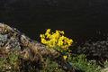 Aurinia Saxatilis and Dark Deep Water - PhotoDune Item for Sale