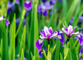 Siberian iris - PhotoDune Item for Sale