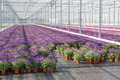 Purple flowers in a greenhouse - PhotoDune Item for Sale