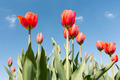 Red Tulips under a blue sunny sky - PhotoDune Item for Sale