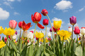 Beautiful colorful tulips against a blue sky with clouds - PhotoDune Item for Sale