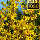 Springtime Flowers Forsythia - VideoHive Item for Sale