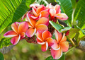 Pink Plumeria - PhotoDune Item for Sale
